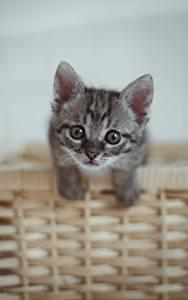 デスクトップの壁紙、、飼い猫、子猫、籠、凝視、灰色、動物