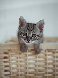 Desktop hintergrundbilder Hauskatze Kätzchen Weidenkorb Starren Graues Tiere