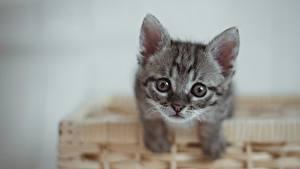 Fondos de escritorio Gatos Gatitos Cesta de mimbre Contacto visual Gris Animalia