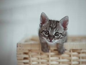 Bilder Hauskatze Kätzchen Weidenkorb Starren Graues Tiere