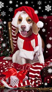 Fotos Neujahr Feiertage Hunde Mütze Zunge Geschenke Schal Schleife Beagle ein Tier