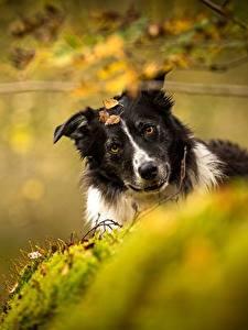 Bilder Hunde Border Collie Bokeh Tiere