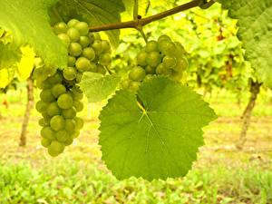 Fotos Weintraube Blatt Ast Lebensmittel