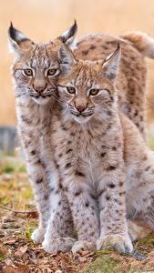 Fondos de Pantalla Lynx Cachorros 2 Hermoso