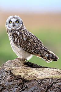 Hintergrundbilder Eule Vogel Starren Unscharfer Hintergrund Short-eared Owl