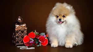 Hintergrundbilder Hund Blumensträuße Rose Schmuck Farbigen hintergrund Spitz ein Tier