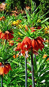 Hintergrundbilder Fritillaria Hautnah Blumen