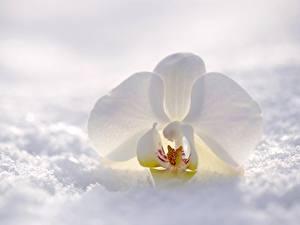Fotos Orchideen Großansicht Weiß Schnee Blumen
