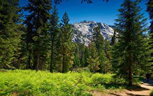 Hintergrundbilder Vereinigte Staaten Park Gebirge Wälder Fichten Gras Sequoia National Park Natur