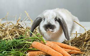 Bilder Kaninchen Mohrrübe Tiere