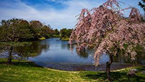 Fotos USA Park Teich Blühende Bäume Fichten Missouri Botanical Garden Natur