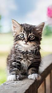 Hintergrundbilder Hauskatze Katzenjunges Blick