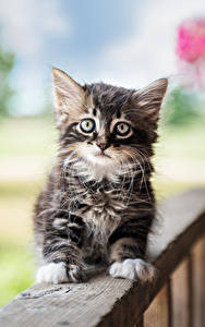 Hintergrundbilder Hauskatze Katzenjunges Blick ein Tier
