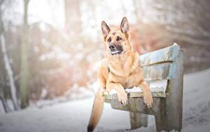 Bilder Hunde Winter Deutscher Schäferhund Bank (Möbel) Shepherd Tiere