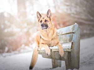 Bilder Hunde Winter Deutscher Schäferhund Bank (Möbel) Shepherd
