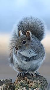 Fotos Eichhörnchen Graue ein Tier