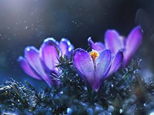 Bilder Großansicht Krokusse Violett Blüte