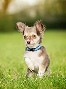 Bilder Hunde Chihuahua Gras Unscharfer Hintergrund ein Tier