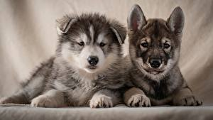 Pictures Dogs Two Puppies Husky Staring animal