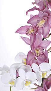 Hintergrundbilder Orchideen Großansicht Weißer hintergrund Blumen