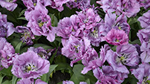 Fotos Tulpen Nahaufnahme Violett Blüte