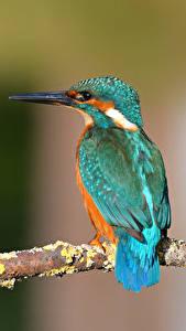 Hintergrundbilder Eisvogel Vögel Ast Bokeh ein Tier