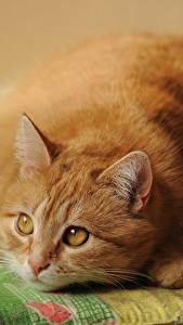 Wallpapers Cat Staring Ginger color Fat animal