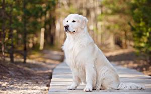 Hintergrundbilder Hund Golden Retriever Blick Tiere
