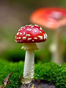 Bakgrunnsbilder Rød fluesopp Sopper Nærbilde Bladmoser Natur
