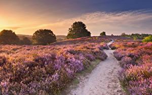 Hintergrundbilder Niederlande Felder Sonnenaufgänge und Sonnenuntergänge Lavendel Weg Natur