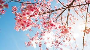 Fotos Blühende Bäume Ast Japanische Kirschblüte