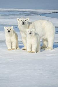 Bilder Bären Eisbär Jungtiere Drei 3 Eis Starren