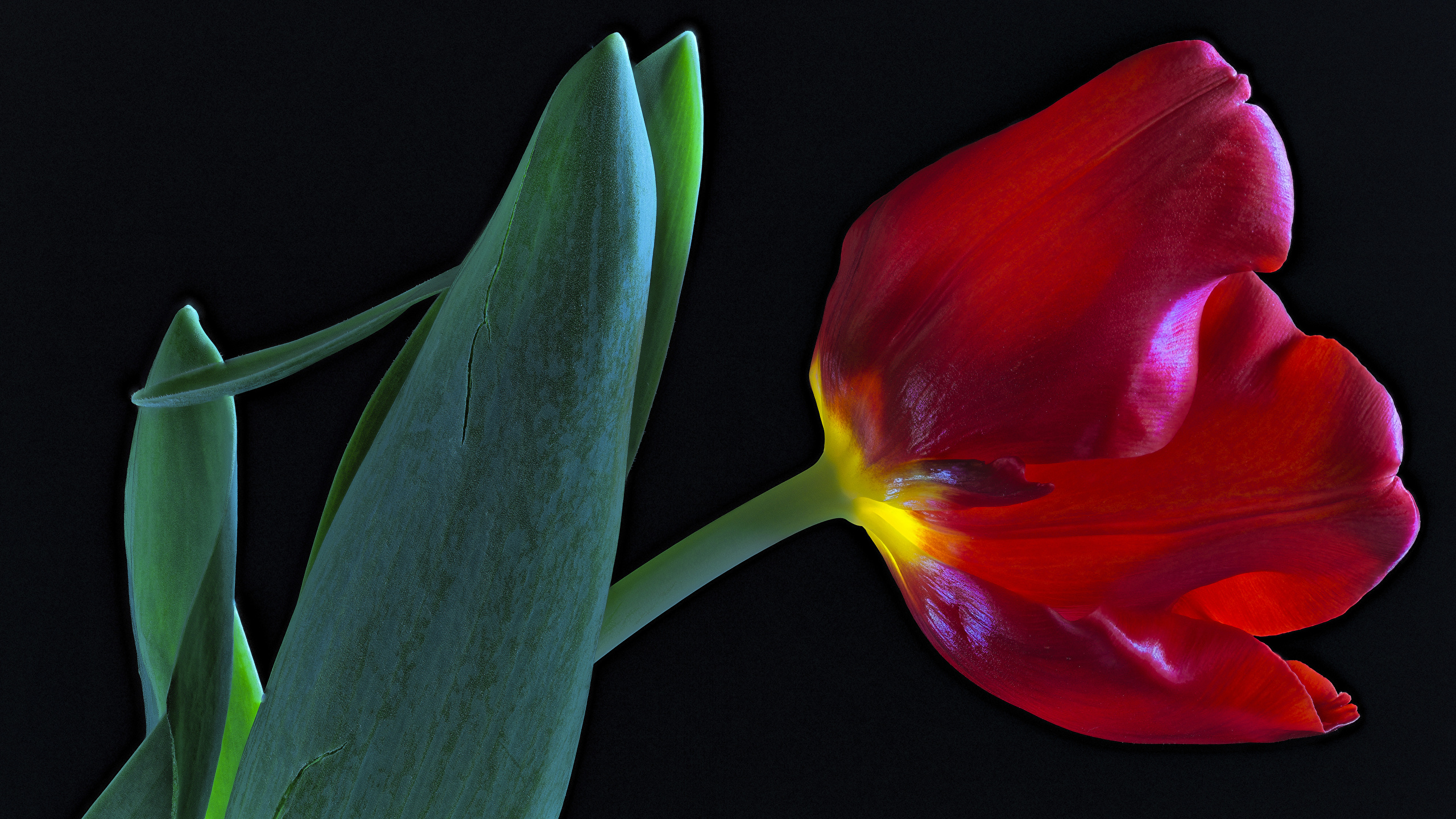 Images Red Tulip Flower Closeup Black Background 2560x1440