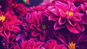 Hintergrundbilder Dahlien Nahaufnahme Blumen