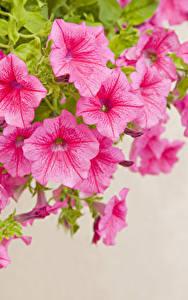 Fotos Petunien Großansicht Farbigen hintergrund Rosa Farbe Blumen