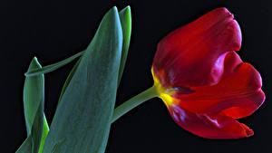 Hintergrundbilder Tulpen Hautnah Schwarzer Hintergrund Rot Blüte
