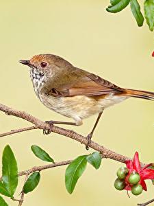 Bilder Vögel Blühende Bäume Farbigen hintergrund Ast Tiere