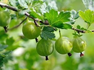 Fotos Stachelbeere Großansicht Ast Grün Lebensmittel