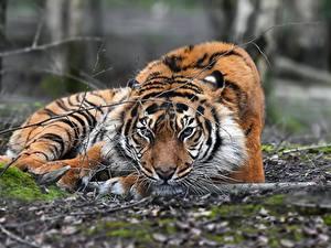 Bilder Tiger Blick Schnauze Tiere