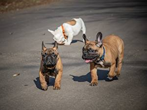 Images French Bulldog Dogs Three 3 Funny Animals
