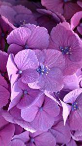 Fotos Hortensien Großansicht Violett Blumen