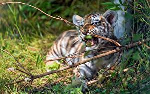 Hintergrundbilder Tiger Jungtiere Ast Tiere