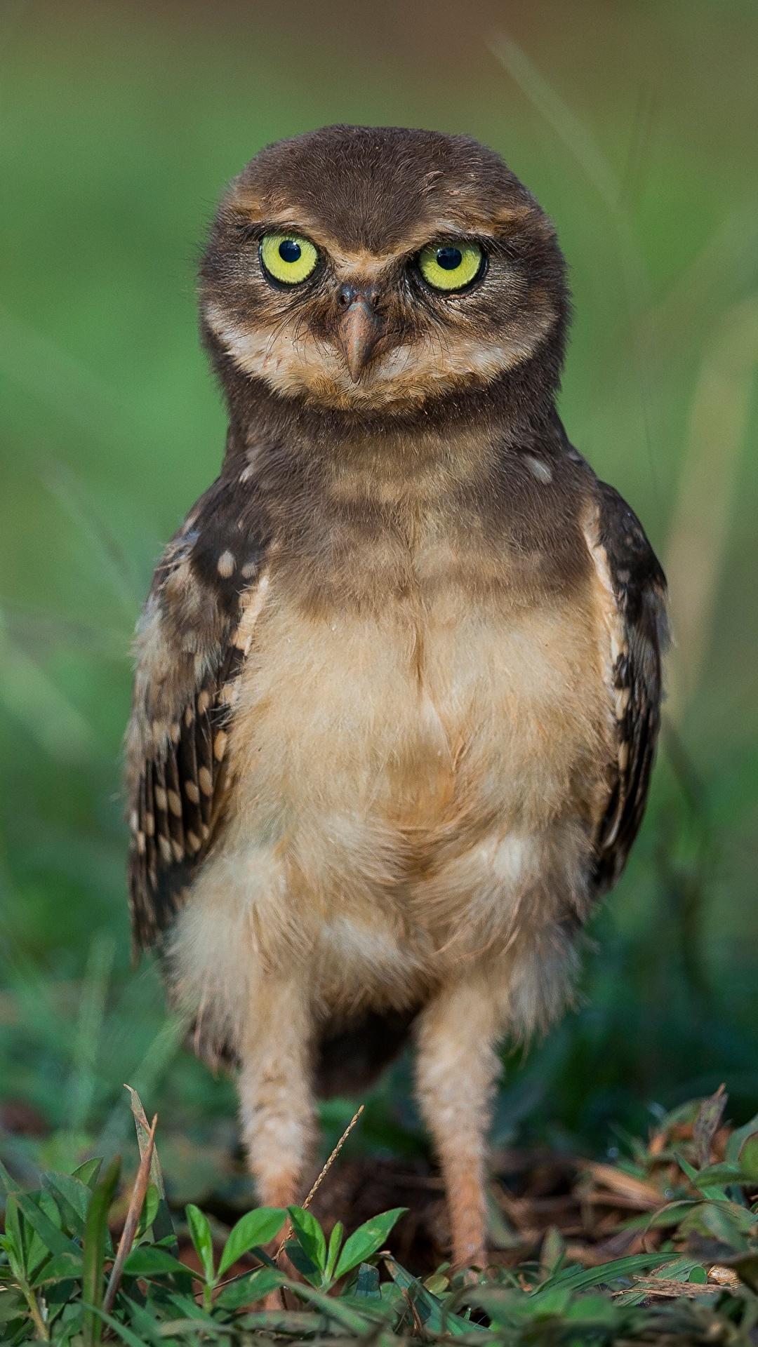 Fondos De Pantalla 1080x1920 Buhos Aves Athene Animalia Descargar