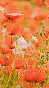 Hintergrundbilder Mohnblumen Viel Rot Blütenknospe Blüte