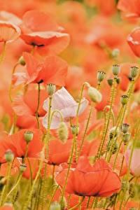 Papel de Parede Desktop Papaver Muitas Vermelho Broto flor