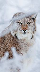 Picture Lynx Staring Animals