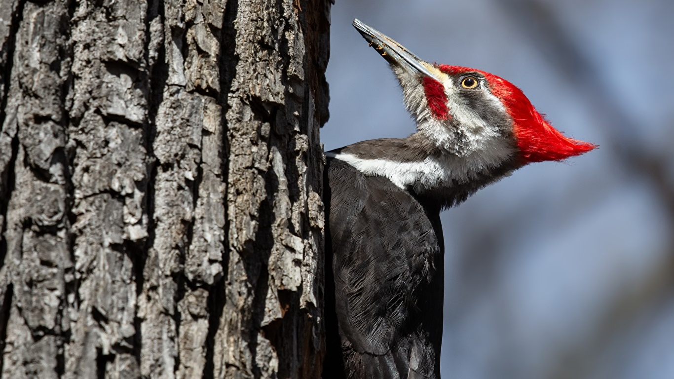 Photos Bird Pileated Woodpecker Trunk Tree Animals 1366x768