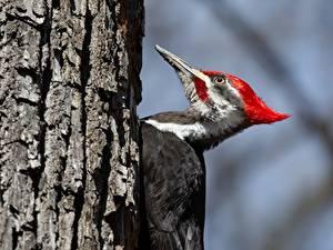 Bilder Vögel Spechte Baumstamm Pileated Woodpecker Tiere
