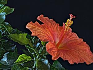 Hintergrundbilder Eibisch Großansicht Schwarzer Hintergrund Orange HDRI Blumen