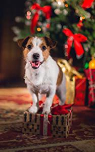 Fotos Neujahr Hunde Jack Russell Terrier Geschenke Tiere